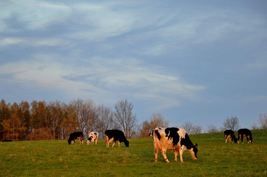 Springtime_cows
